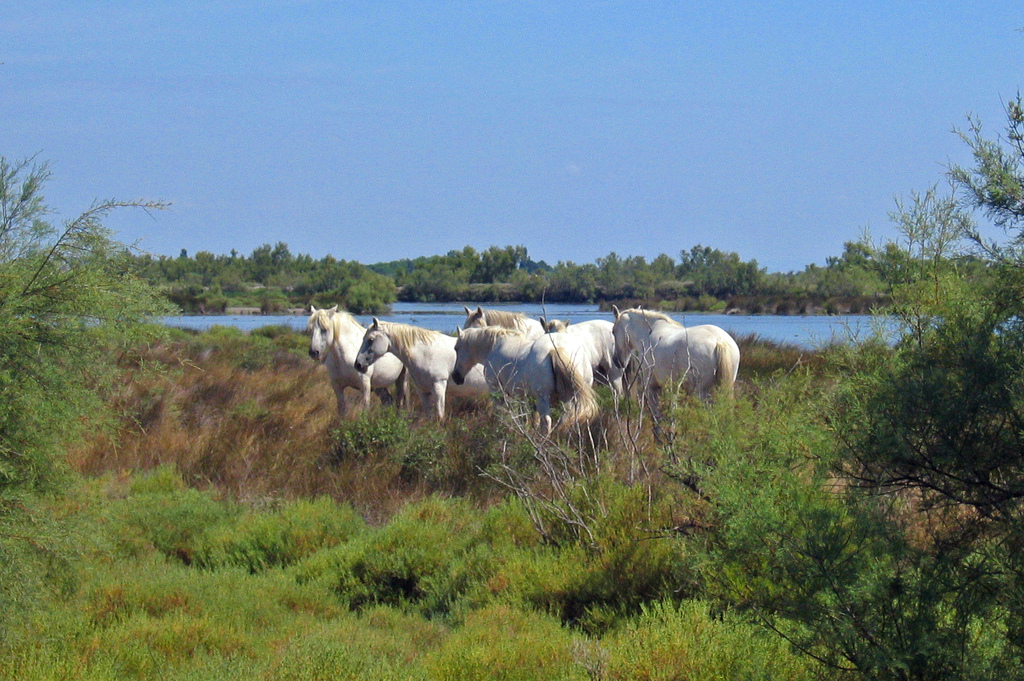 Camargue chevaux sauvages